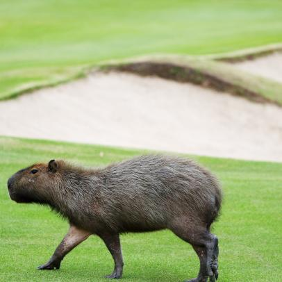 Capybaras, wildlife become stars of the Olympic golf course