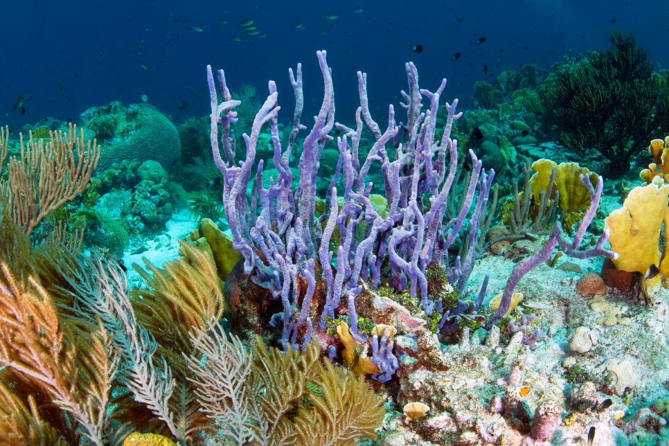 Coral reef scene showing row pore rope sponge (Aplysina cauliformis) Curacao, Netherlands Antilles