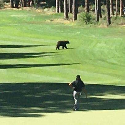 A bear showed up on the course at Barracuda Championship, but, alas, he wasn't Golden
