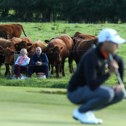 Holy cow! It's a different kind of Moo-ving Day in the Irish Open